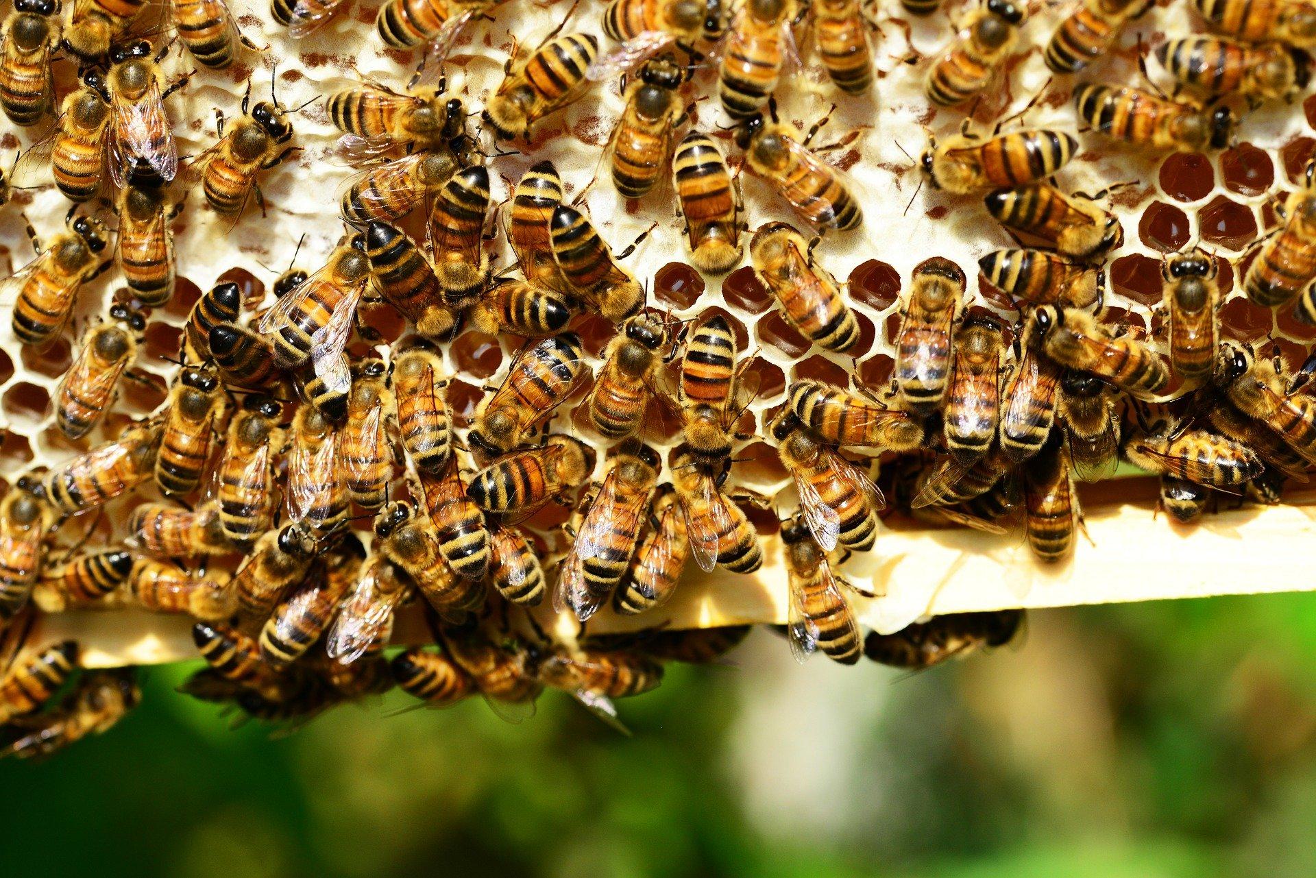 abeilles autour d'alvéoles
