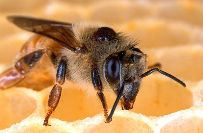 Varroa and Diseases