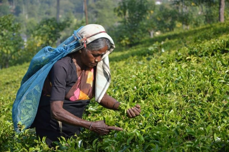 Export Quality Tea from Darjeeling, Assam & Nilgiri