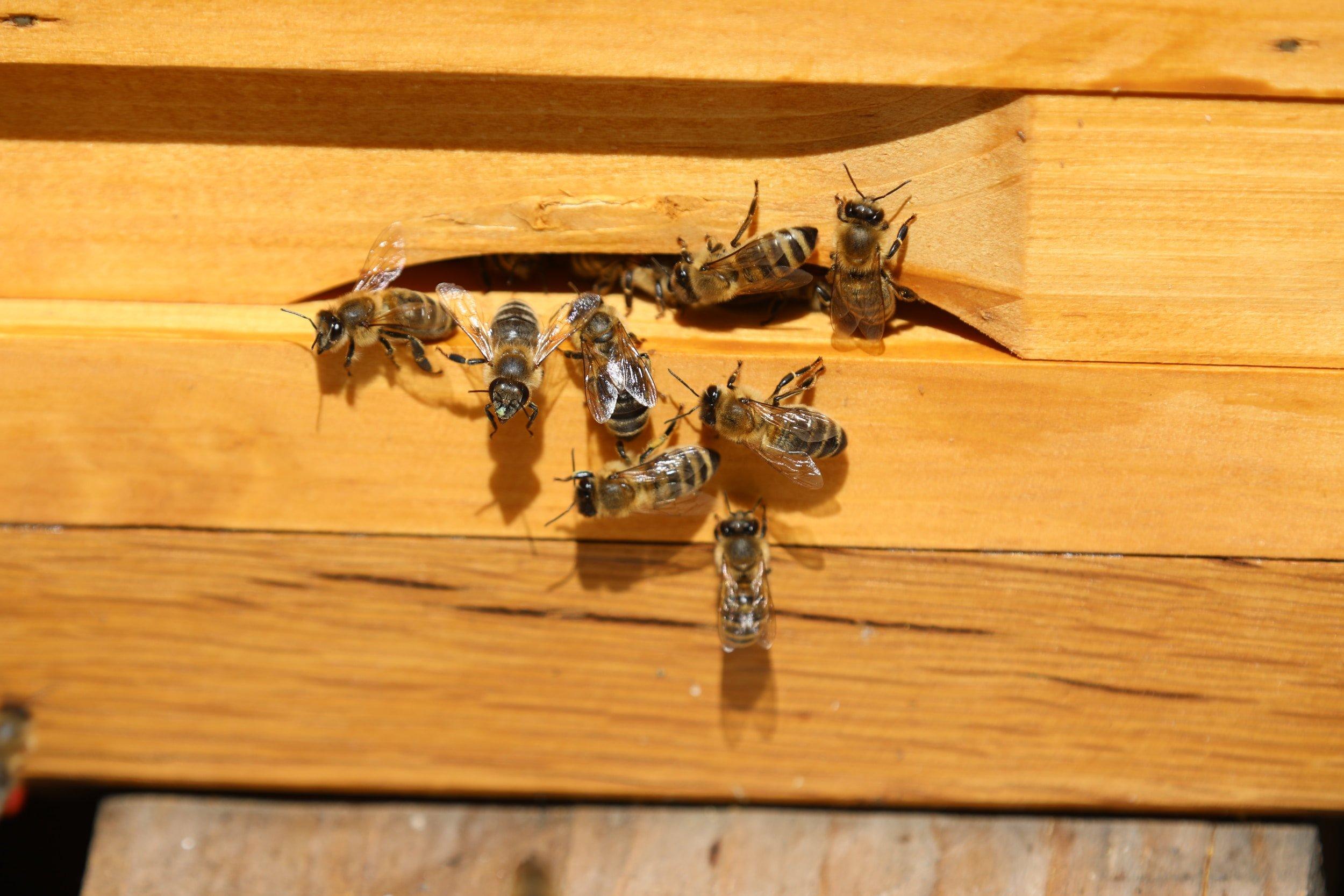 abeilles sortant par le trou d'une ruche en bois