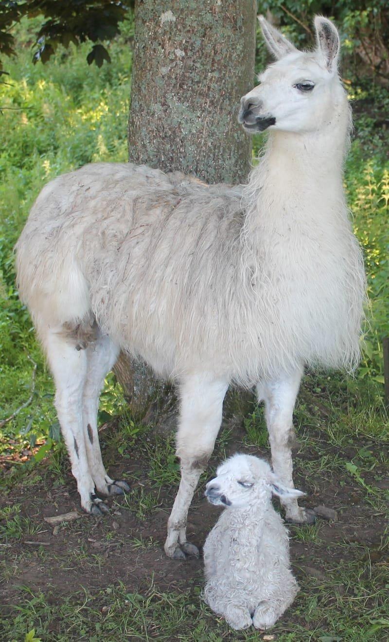 Naissance d'un bébé lama