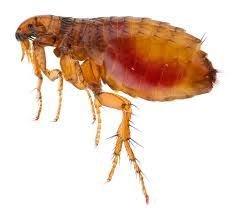 Flea Treatment