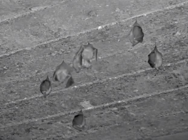 Live HD Wild Lesser Horseshoe Bat Cam