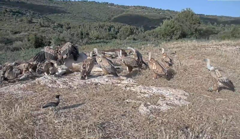 Live HD Vulture feeding station.