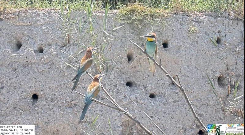Live HD Bee-eater Agamon Hula KKL Cam (Not Active)