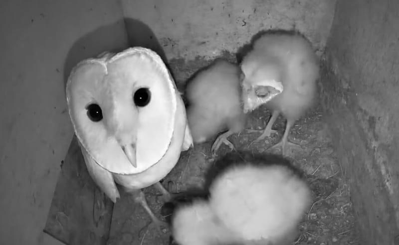 Barn Owl   תנשמות   Cam # 4   2020   (Not Active)