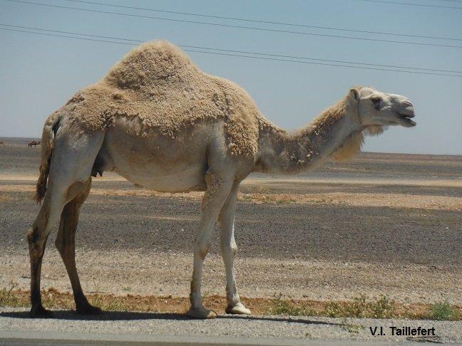 The Dromedary or Arabian Camel