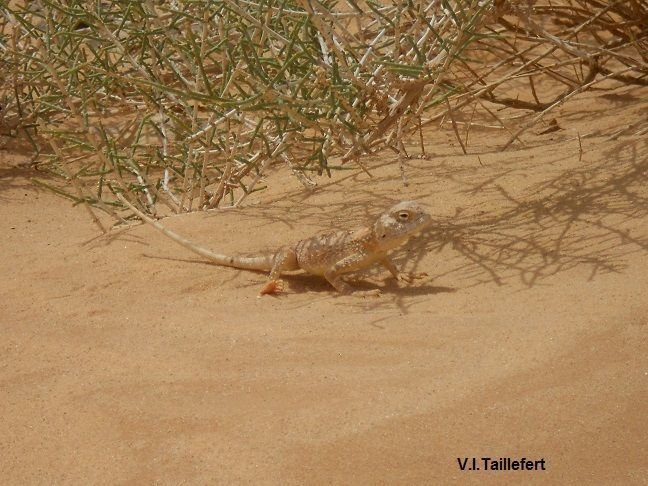 The  Agama Trapelus