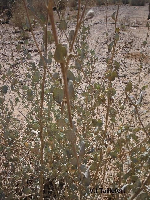 The Mediterannean Saltbush