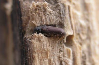 A propos des insectes xylophages