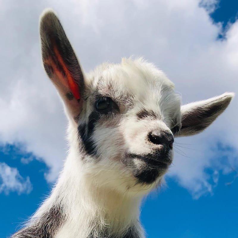 Goat University