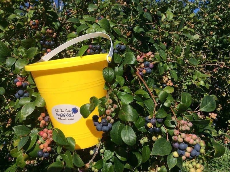 Redwood Lane Blueberries