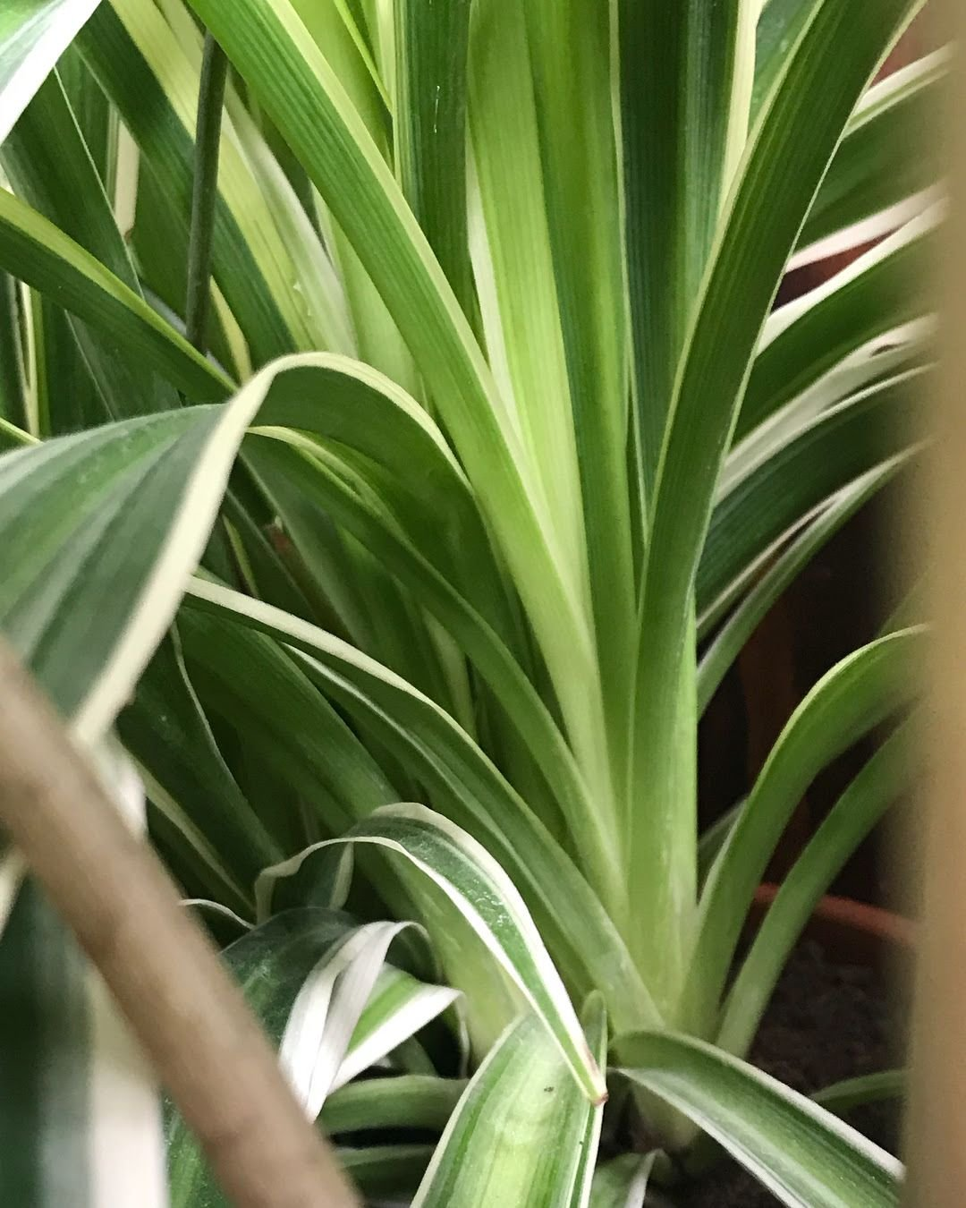 How To Successfully Grow Spider Plants