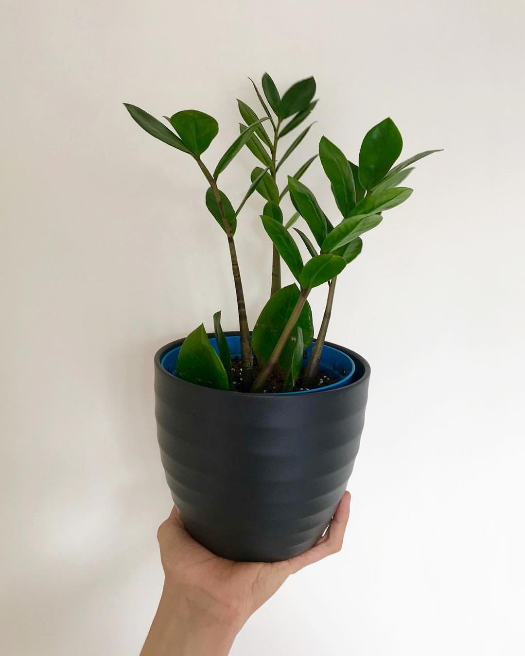 Our Guide On Zz Plant Care