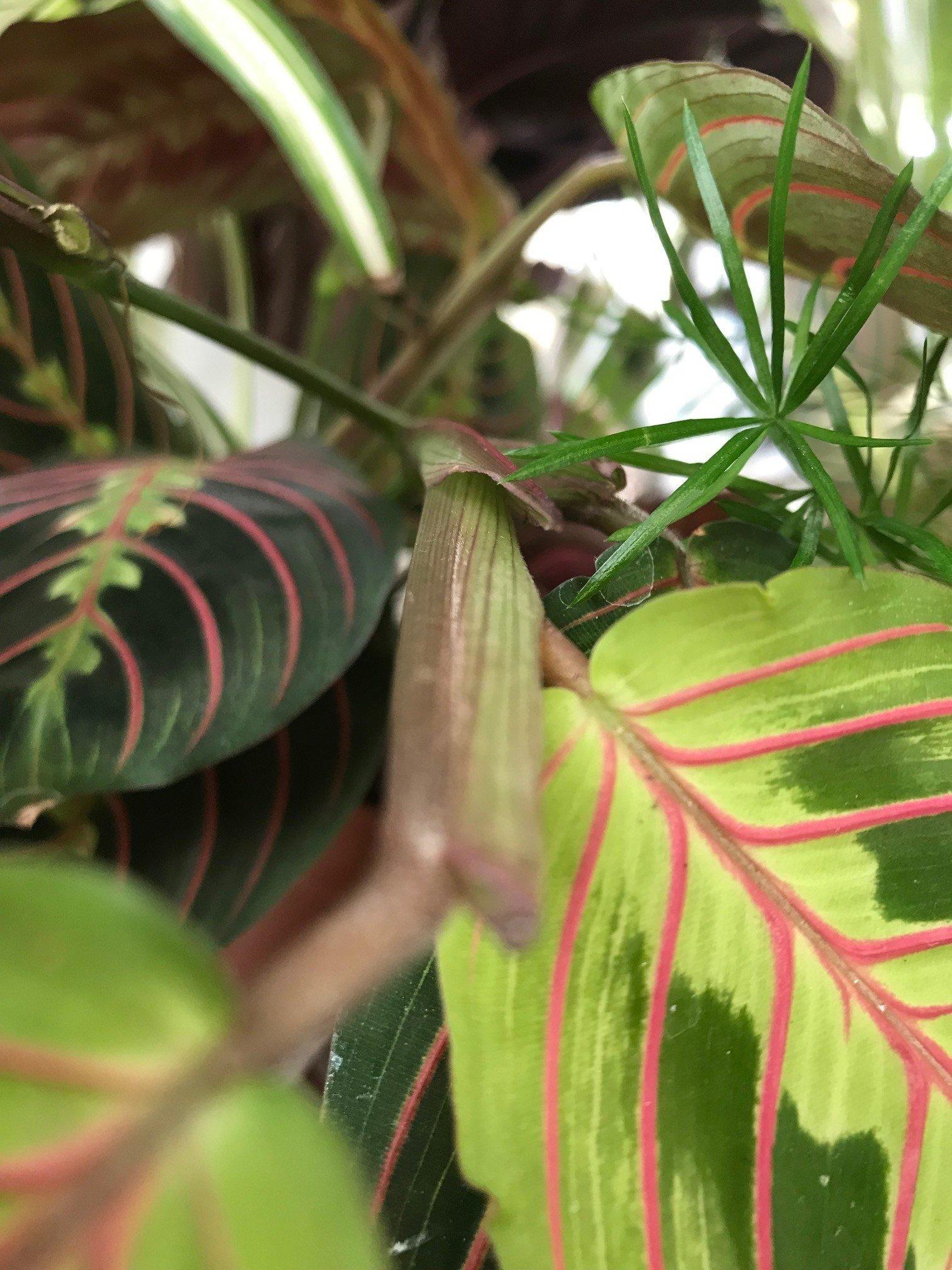 Successfully Growing Maranta Living Prayer Plants