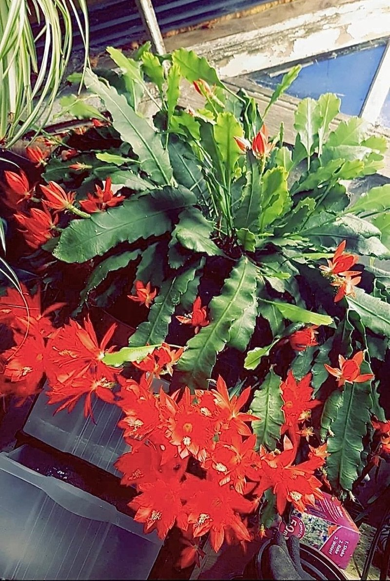 "Epiphyllum,Orchid Cactus /"" WEGA /"" Don/'s Cuttings J//4"