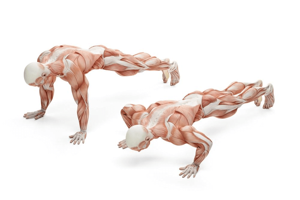 Graphic illustration of anatomy during push ups
