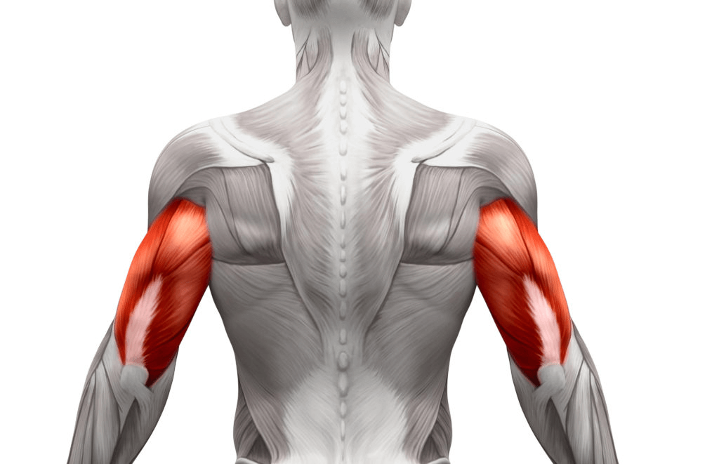 Tricep Muscle Anatomy