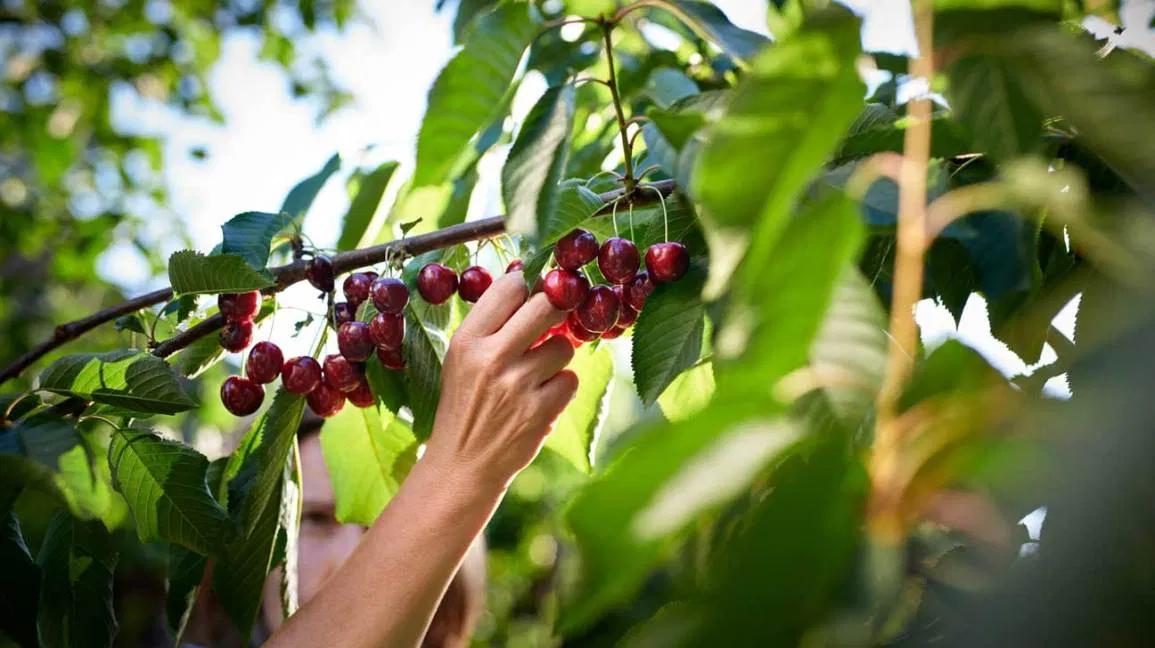 Cherries Benefits