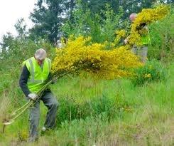 Scotch Broom Challenge