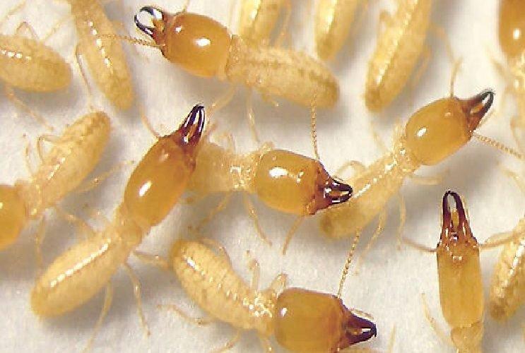 النمل الابيض ( الرمه )