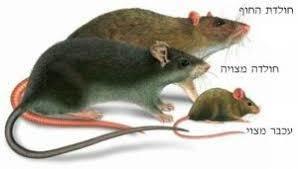 <h2>לוכד חולדות, עכברים