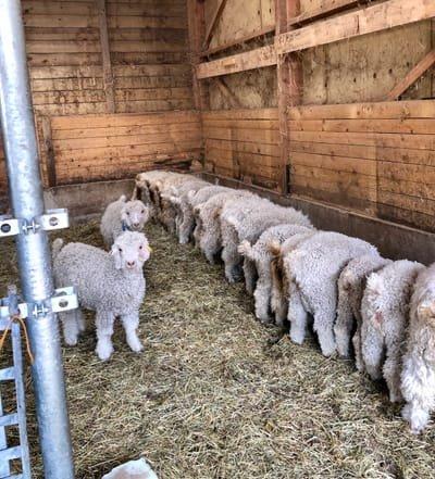 Les chèvres angoras