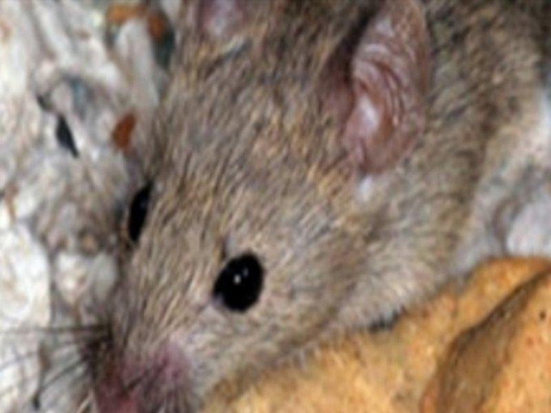 فئران المنازل وطرق الوقاية منها