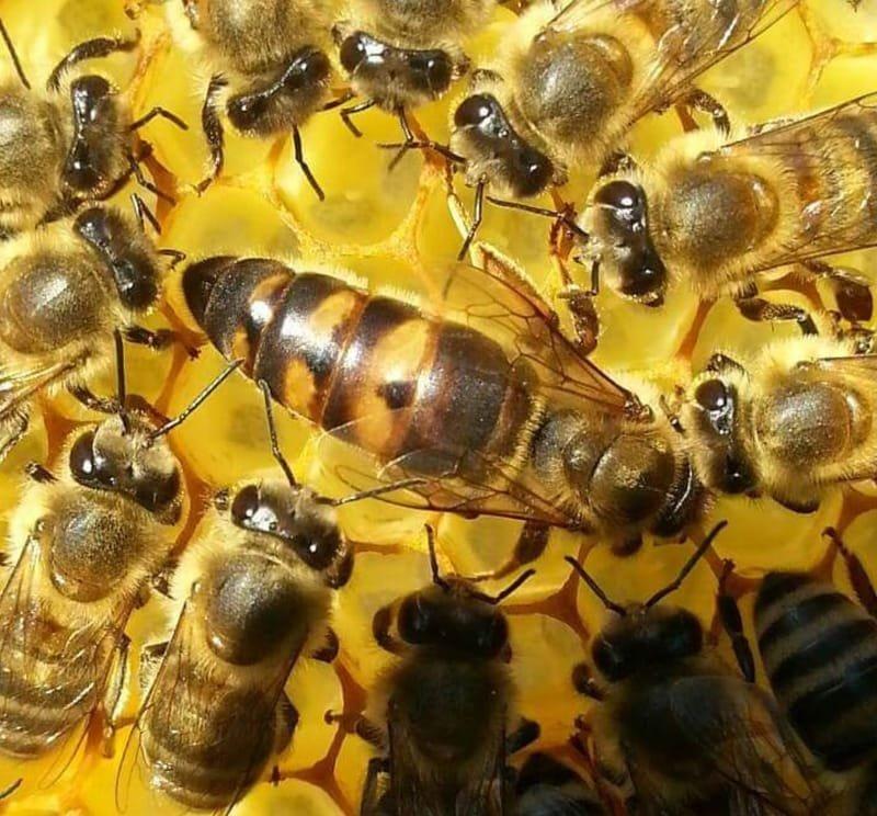 Доставка пчеломатки Bacfast