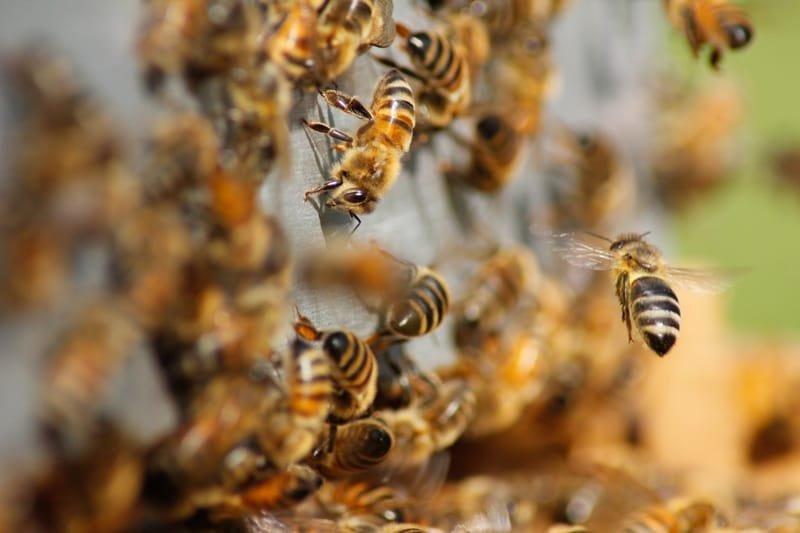 25 интересных фактов о пчёлах.