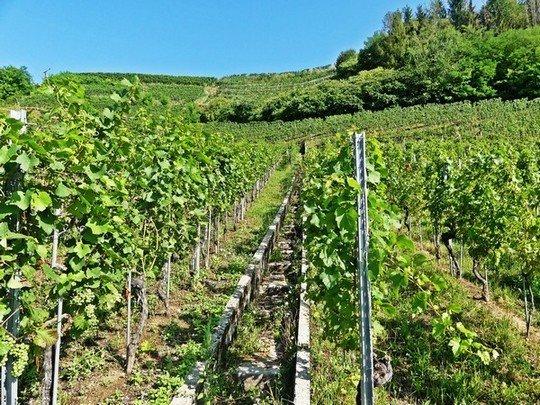 Des vignes de la région Trois Lacs