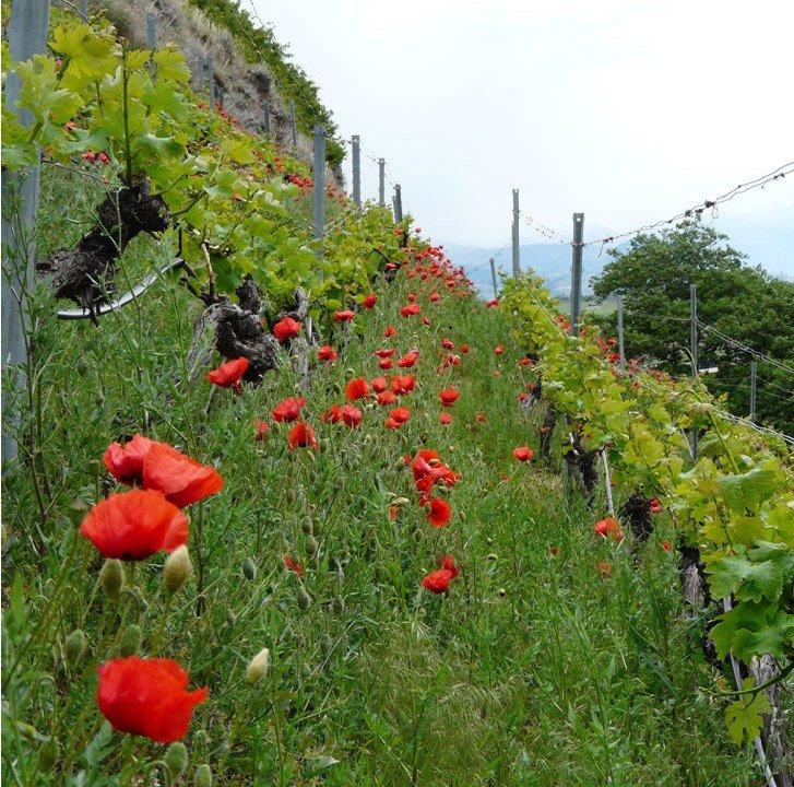 Les vignes fleuries de la Cave le Bosset