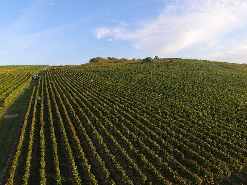 Les vignes du Domaine des Curiades à Lully dans le vignoble genevois.