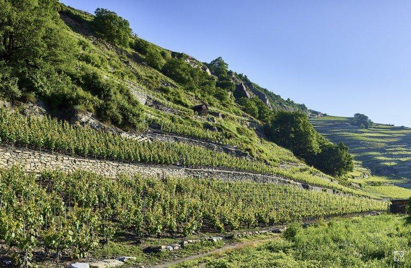 Les vignes de la Cave des Oasis à Flanthey dans le vignoble valaisan.