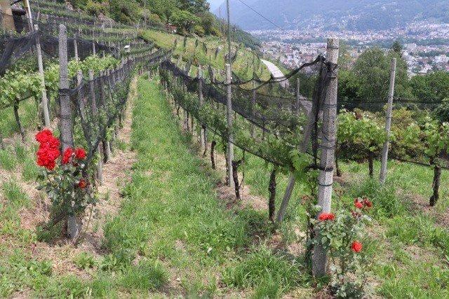 Les vignes de l'Azienda Mondo à Sementina dans le vignoble tessinois.