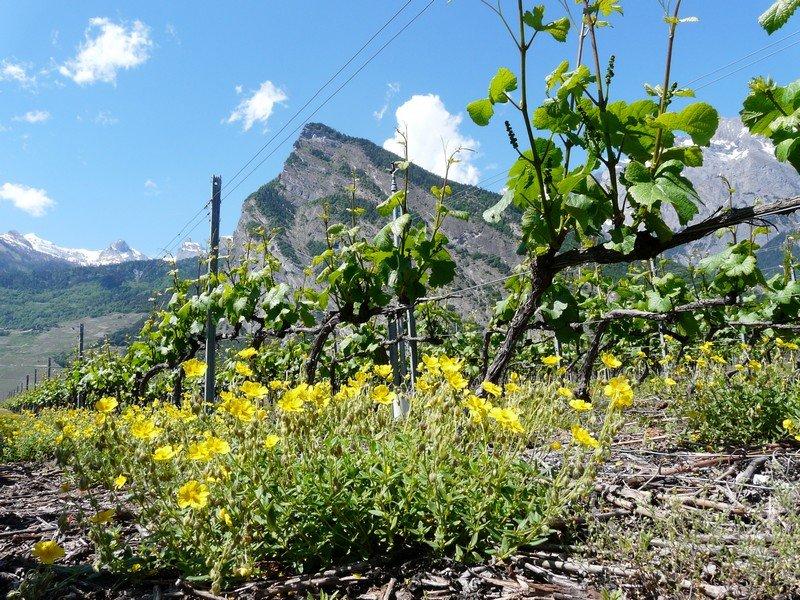 Les vignes de la Cave Le Bosset à Leytron dans le vignoble valaisan