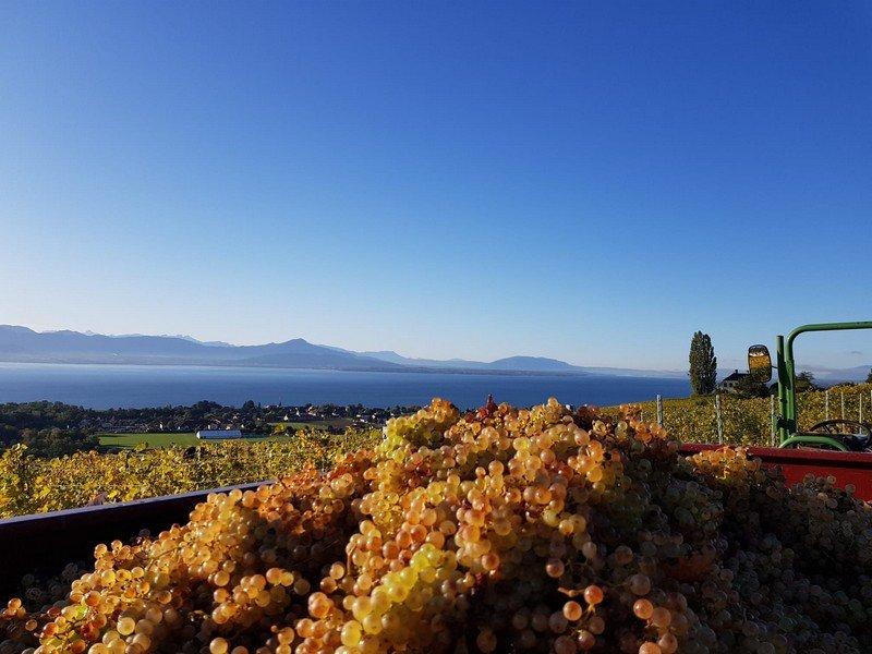 Les vignes de la Cave Mon Pichet à Féchy dans le vignoble vaudois