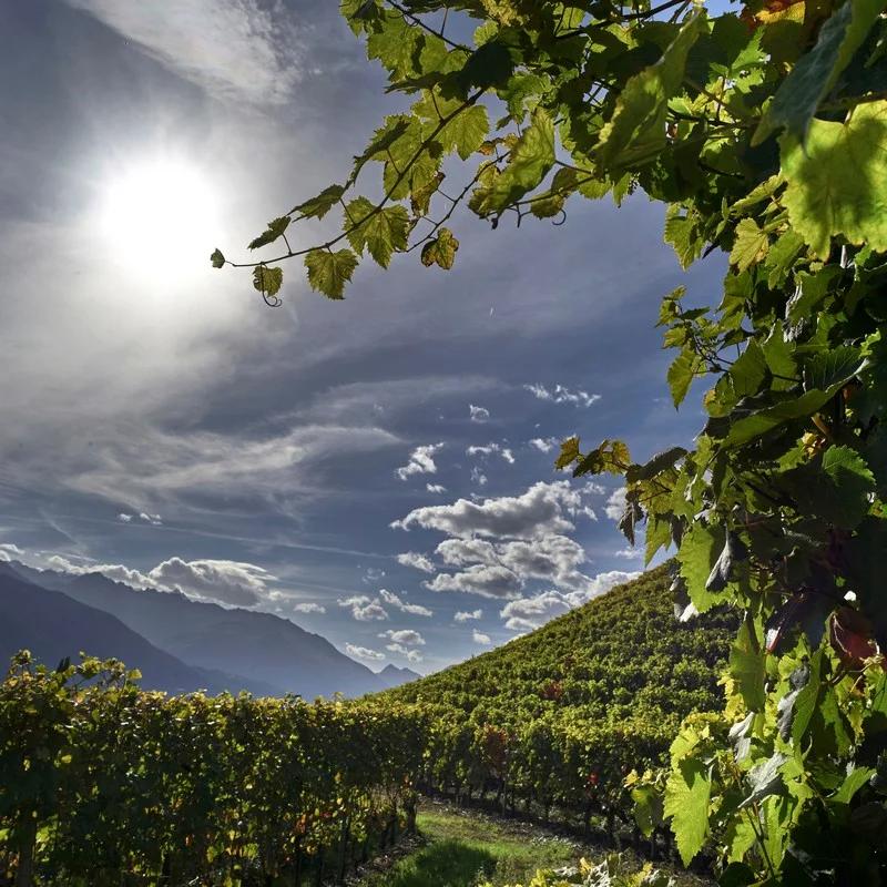 Les vignes de Thierry Constantin
