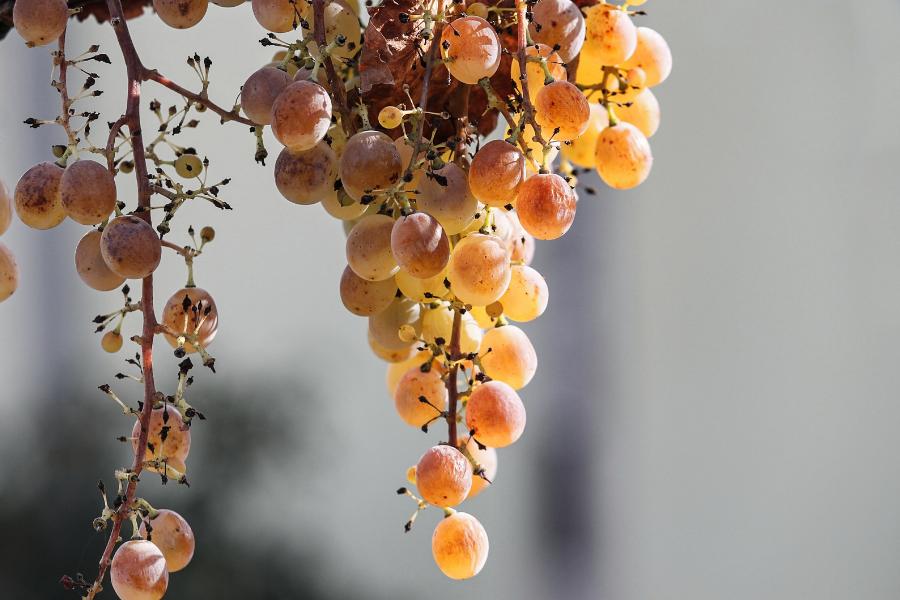 Du raisins blanc passerillé qui servira à faire du vin doux