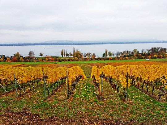 Vignes du Château de Crans (canton de Vaud) au bord du Lac Léman