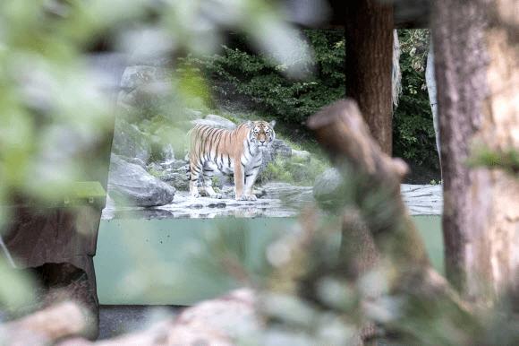 시베리아(아무르) 암컷 호랑이 이리나가 4일(현지시간) 여성 사육사를 공격해 숨지게 한 참극이 발생한 스위스 취리히 동물원의 제한구역 안에서 이리나와 한 우리에서 함께 지내는 수컷 호랑이 사얀이 카메라에 포착됐다. 취리히 AP 연합뉴스
