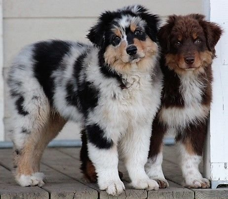Welcome to Irongate Australian Shepherds!