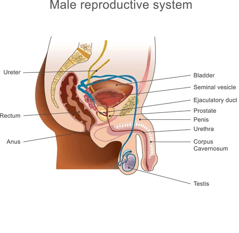 prostate diagram for prostate massage