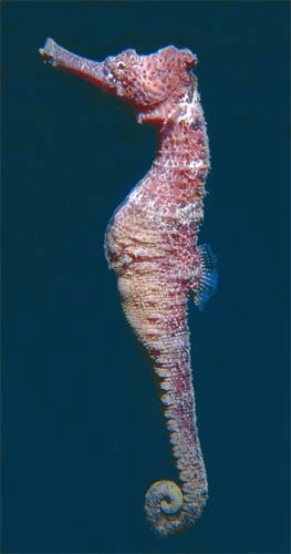 Longsnout seahorse. Photo © Richard Bejarano