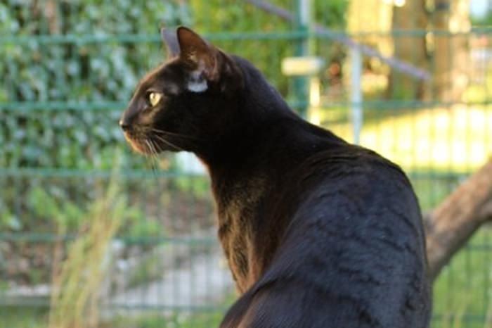 Melanastic Bengal Cat