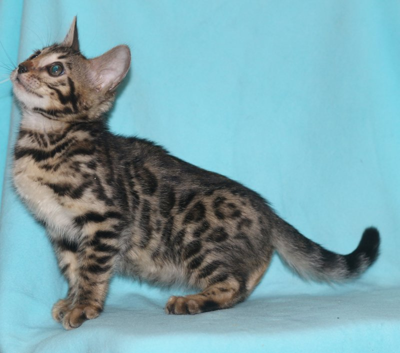 CHAMPION VIPER AND LIVING IN HARMONY'S FIRST LITTER -  RESERVED FOR Thanh V