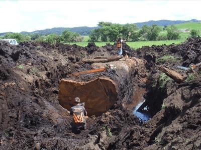 Ein präfossiler Kauribaum wird ausgegraben