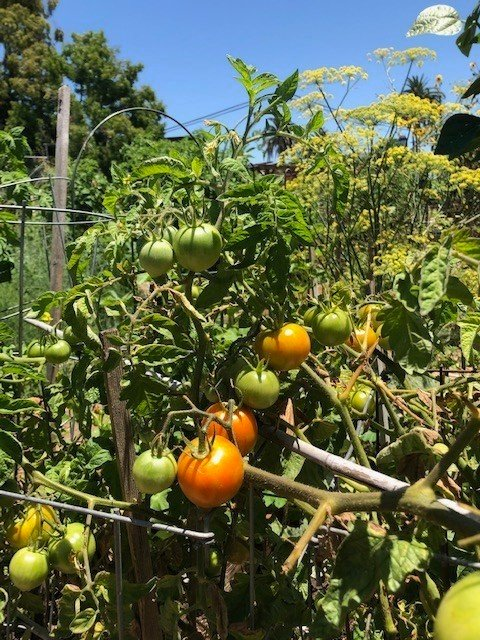 Tomatoes must also be removed by Dec. 1