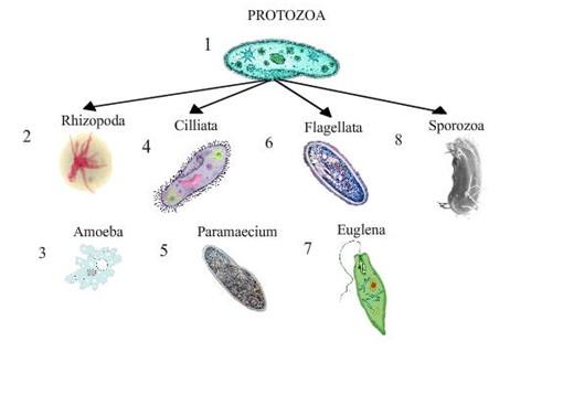 Gambar protozoa