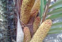 bunga salak jantan